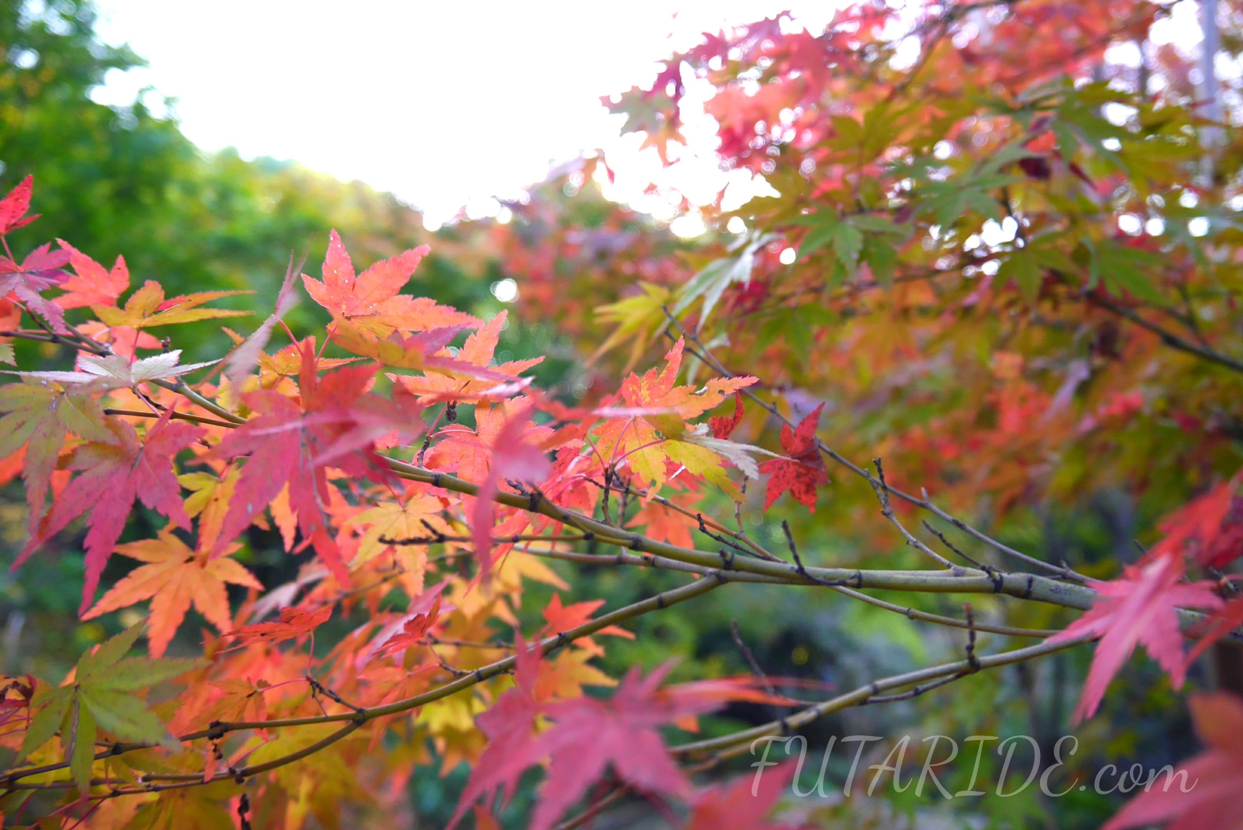 【白鳥庭園】紅葉と雪吊りのライトアップは圧巻!紅葉の見頃・混雑情報まとめ【名古屋市熱田区】